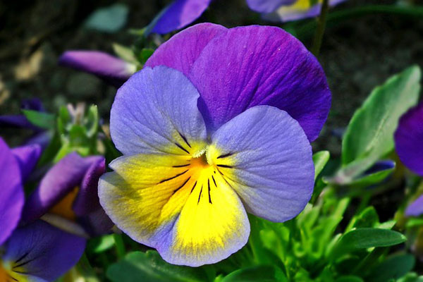 Viola del Pensiero - Photo credit: Pixabay.com